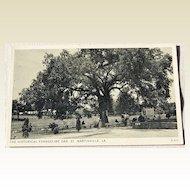 Vintage Postcard The Historical Evangeline Oak