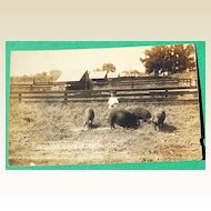 Real Photo Bolds Live Stock Co. Pig Post Card