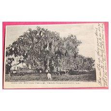 1908 Oak Tree On Bayou Teche Morgan City La. Postcard