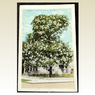 1924 Magnolia Tree New Orleans Louisiana Postcard