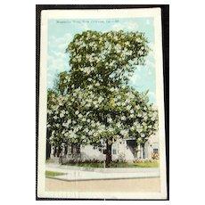 1924 Magnolia Tree New Orleans Louisiana Postcard
