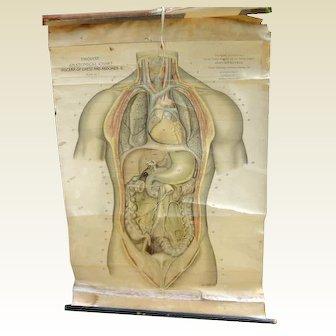 Vintage English Anatomical Medical Teaching Chart Viscera Of Chest & Abdomen