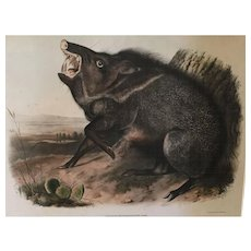 Antique 19th century John James Audubon Large Folio Hand Colored Lithograph Collared Peccary Philadelphia 1844 Plate 31