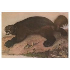 Antique 19th century John James Audubon Large Folio Hand Colored Lithograph Wolverine Philadelphia 1843 Plate 26