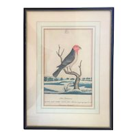 Antique 18th century George III Ink & Watercolor Ornithological Bird Painting of the Dominican Cardinal by William Goodall (England, 1757 – 1844)