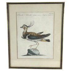 18th Century Northern Lapwing BIRD Print HAND COLORED Engraving Saverio MANETTI