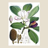 "Reprint of 1855 Lithograph Book Plate of ""Magnolia Hodgsonii"" by Walter Hood Fitch from Illustrations of Himalayan Plants, 10x14, Mint"