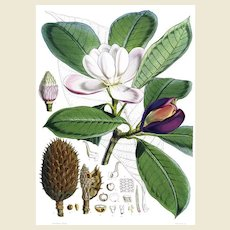 """Reprint of 1855 Lithograph Book Plate of """"Magnolia Hodgsonii"""" by Walter Hood Fitch from Illustrations of Himalayan Plants, 10x14, Mint"""