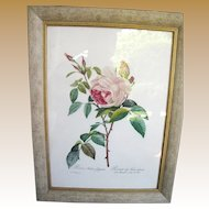P J Redoute Aqua-tinted Lithograph in Custom Frame,1954, Rosa Indica fragrans