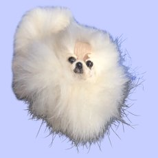Pomeranian Dog for your Spoiled Doll