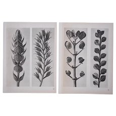 A Pair-Vintage Botanical Photogravures by Karl Blossfeldt-Extreme Close-Ups of Flora c.1942-Folio Size