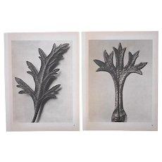 A Pair-Vintage Botanical Photogravures by Karl Blossfeldt-Extreme Close-Ups of Flora c.1942-Folio Size