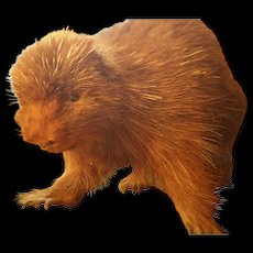 Handsome Young Porcupine Taxidermy