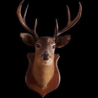 Vintage Buck Taxidermy Deer
