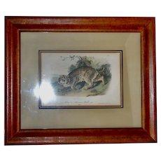 "Original J Audubon 2nd Ed ""Am Wild-Cat"" Museum Mounted"