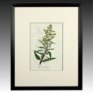 Original Circa 1850 Hand Colored Botanical Lithograph by Louis Van Houtte