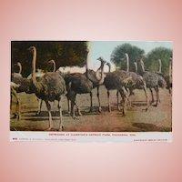 Antique OSTRICH FARM Circa 1899 Postcard - Souvenir of Cawston's Pasadena California