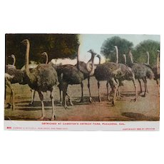 Antique OSTRICH FARM Circa 1899 Postcard - Souvenir of Cawston's Pasadena California