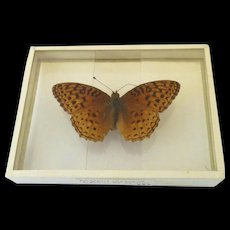 1905 Argynnis Aphrodite Fritillary  Butterfly Mount found in South Brooksville Maine