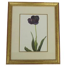 Vintage Black Tulip Print By Arlette Davids La Tulipe Noire Darwin