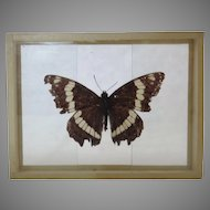 Found 1909 Butterfly Basilarchia Arthemis Banded Purple found Moraine Park