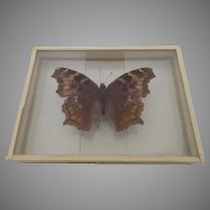 Dated 1909 Eugonia J-Album found Jamaica Plain Mounted Butterfly Slide Compton Tortoise
