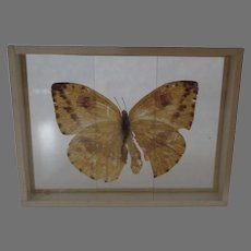 Early 1900's Specimen Butterfly Moth Slide Mount