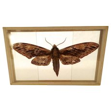Early 1900's Mounted Slide Moth Butterfly