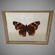 Vanessa Atalant Butterfly Moth Mounted Slide from the Early 1900's