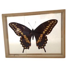 Papilio Polyxenes The Black Swallow Tail Butterfly Dated 1907
