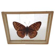 Arginnis Atlantis The Mountain Silver Spot Butterfly Moth Slide Mount Dated 1905