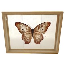 Dated 1905 From Puerto Rico Anartiajatrophe The White Peacock Butterfly Moth Slide Mount