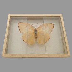 Vintage 1905 dated Butterfly Moth Slide Mount Callidryas Eubule