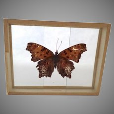 Polygonia Progne Butterfly Moth Vintage Mounted Slide Dated 1905 So Brooksville Maine