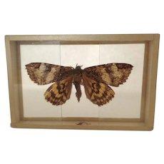 Early 1900's Butterfly Moth Specimen in Slide Mount