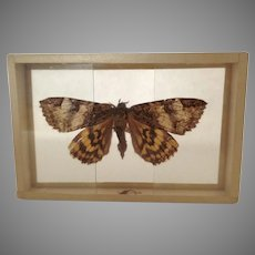 Early 1900's Butterfly Moth Specimen in Slide Mount