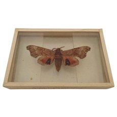 Dated 1905 Smerinthus Geminatus Hawk Moth Butterfly Moth Slide Mount