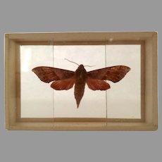 Vintage Butterfly Moth Specimen Slide Mount Darapsa Pholus Dated 1905
