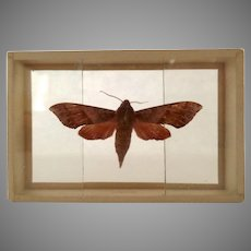 Vintage Butterfly Moth Specimen Slide Mount Darapsa Pholus Dated 1905