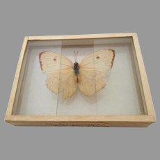 Vintage 1905 dated Butterfly Moth Slide Mount Callidryas Eubule Porto Rico