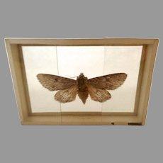 Vintage 1905 dated Butterfly Moth Slide Mount Apatela Americana