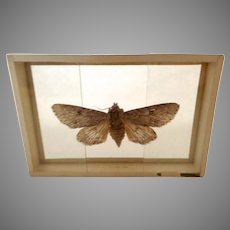 Vintage 1905 dated Butterfly Moth Slide Mount Apatela Americana