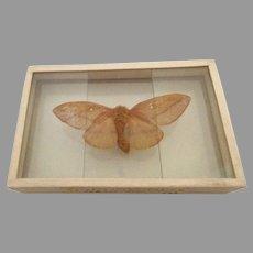 Moth Butterfly Specimen Silde Mount dated 1905 Anisota Virginiensis