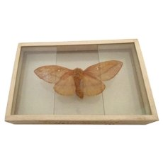 Moth Butterfly Specimen Silde Mount dated 1905 Anisota Virginiensis