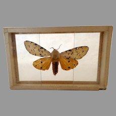 Butterfly Moth Specimen Slide Mount Dated 1905 Estigmene Acraea