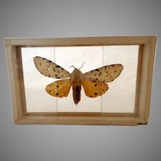 Butterfly Moth Specimen Slide Mount Dated 1905 Estigmene Acraea