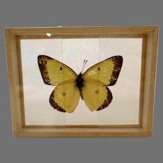 Dated 1905 butterfly Moth Specimen Slide Mount Eurymus Philodice