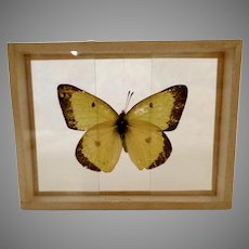 Dated 1905 butterfly Moth Specimen Slide Mount Eurymus Philodice