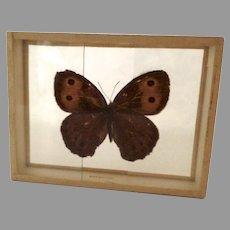 Butterfly Moth Specimen Slide Mount Dated 1905 Cercyonis Alope Nephele