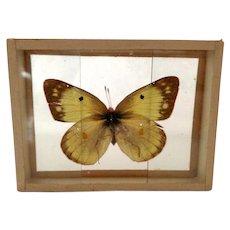 Vintage Early 1900's Butterfly Moth Specimen Slide Mount